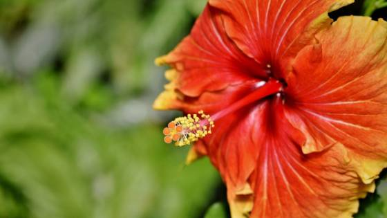 Why Hibiscus Tea is Good For You