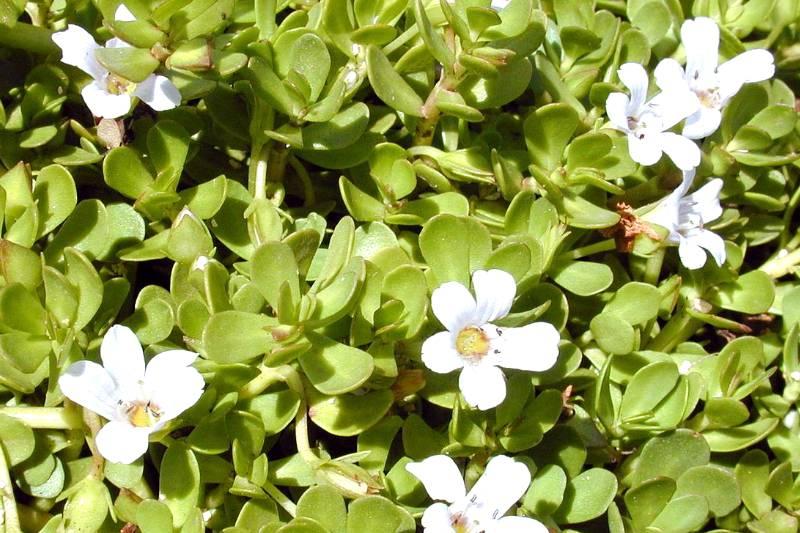 Brahmi Brain Boosting Herb