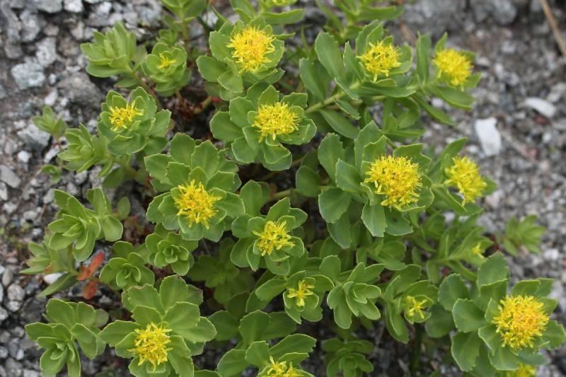 best brain boosting herb